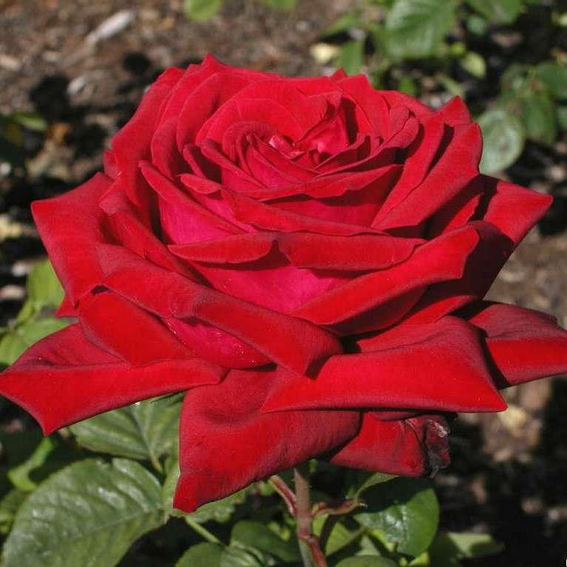 Бургунд сорт розы